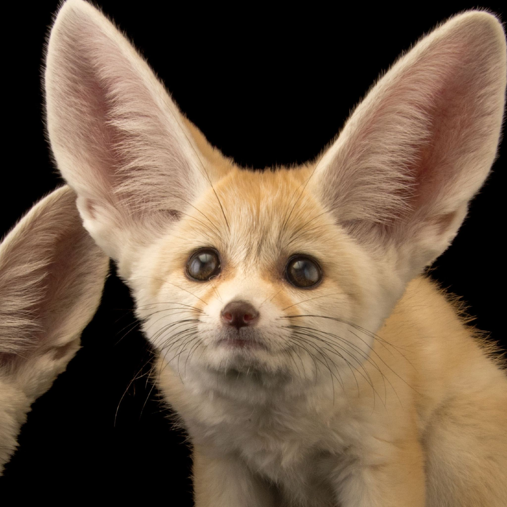 Cats Ear Scientific Name