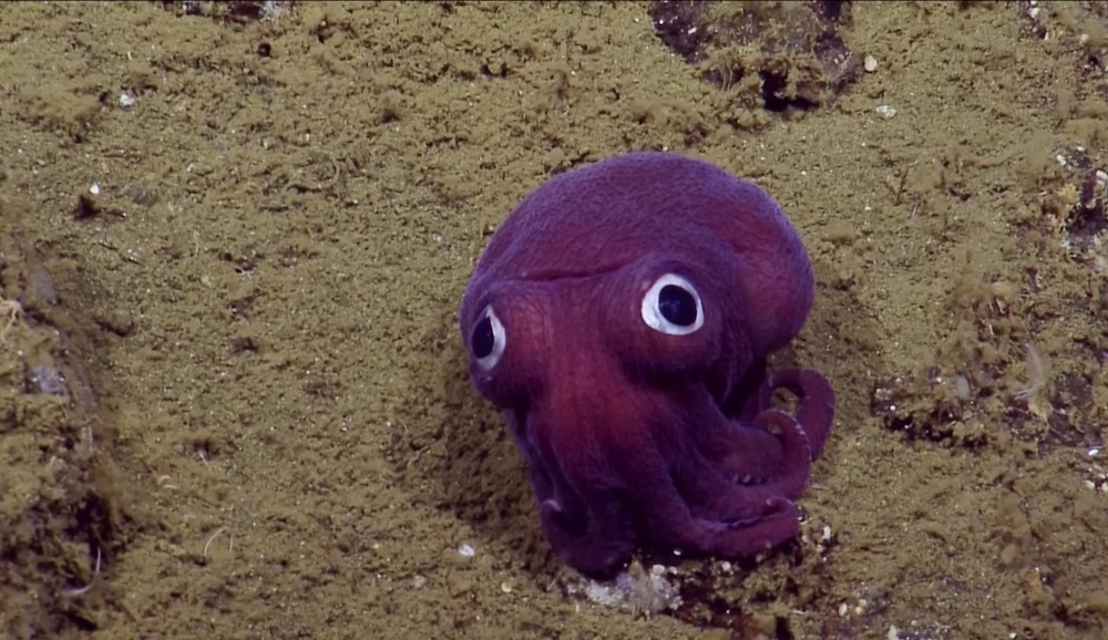 purple-stubby-squid