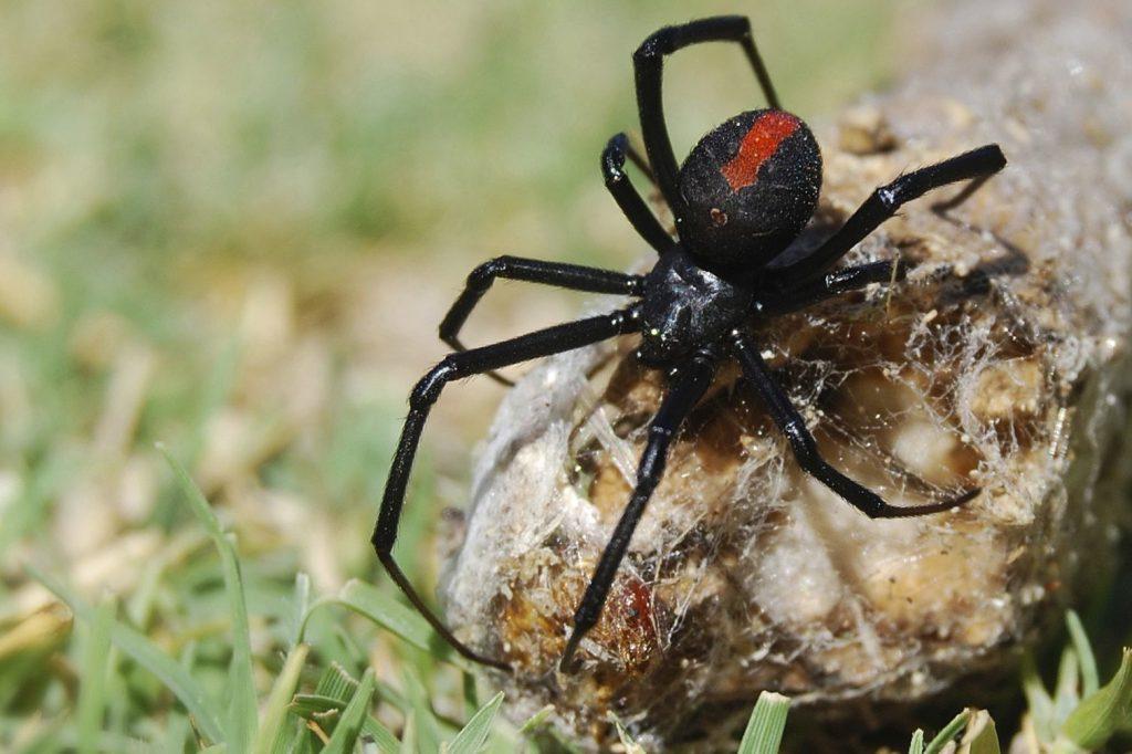 عنکبوت پشتقرمز