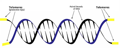 DNA-telemere-img_دکتر مجازیvirtualdr.ir