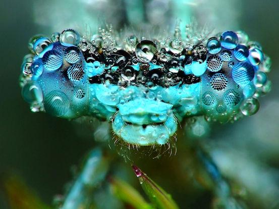 dew-dragonfly