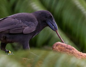 hawaiian-crow-tool-use