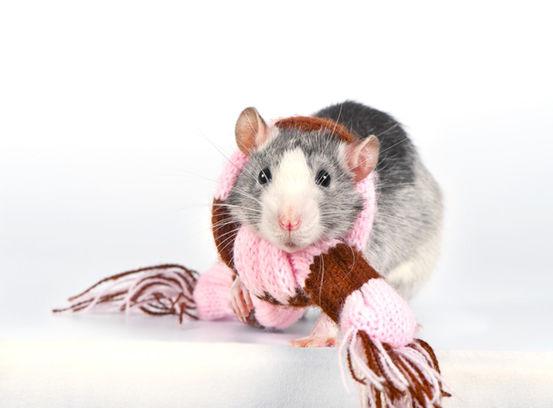 rat-wearing-scarf