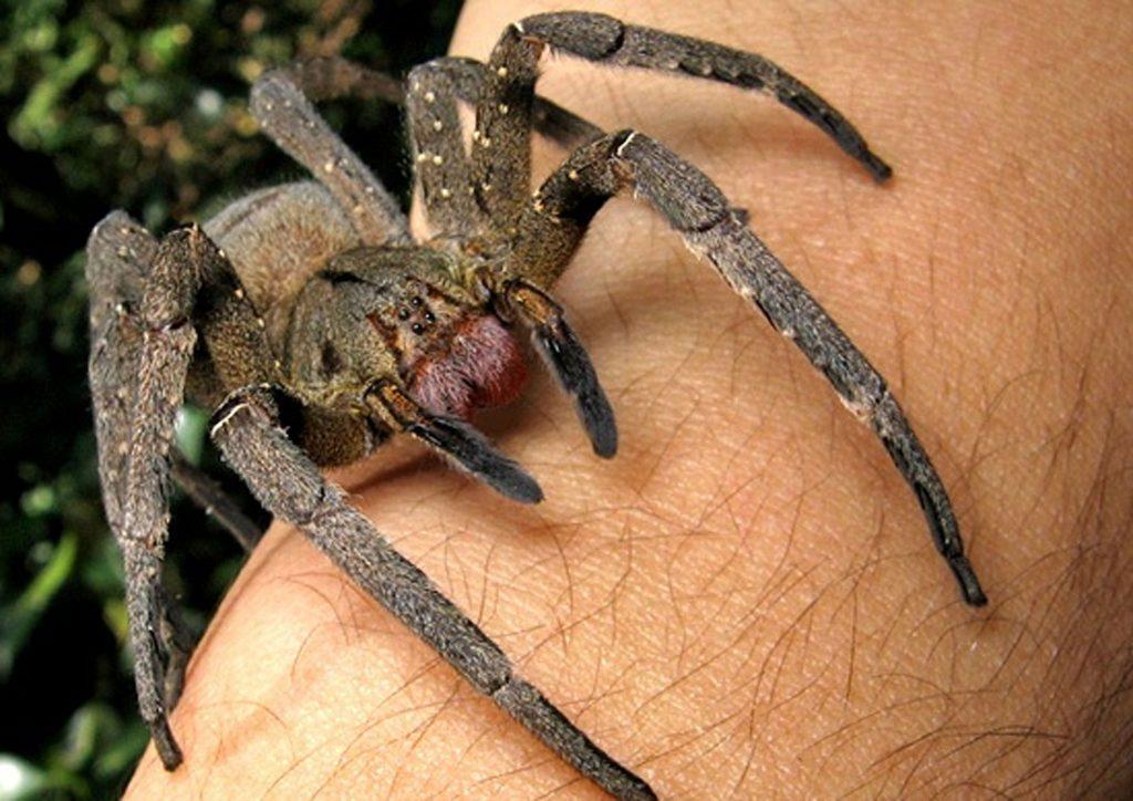 عنکبوت سرگردان برزیلی.