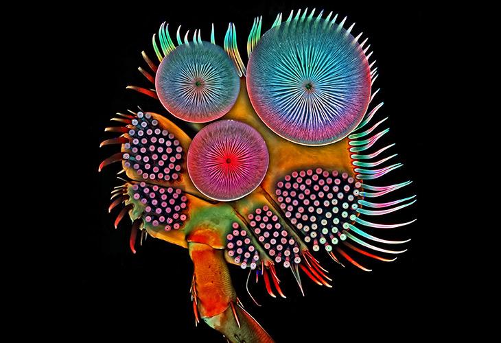 Playing Footsie - مقام پنجم: ساختار پیچیدۀ پای جلویی جنس نر سوسک شیرجهزن (Diving Beetle) که پوشیده از پایکهای مکنده در اندازههای متفاوت است. این پایکها به جنس نر اجازه میدهد هنگام جفتگیری به پشت سوسک ماده بچسبد.