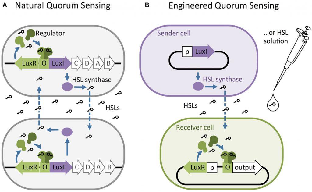 مسیر Quroum Sensing طبیعی و مصنوعی که با واسطۀ هوموسرین لاکتون (Homoserine Lactone) انجام میپذیرد. A) شبکۀ Quorum Sensing طبیعی در گونۀ Vibrio fischeri با بیان مجموعهای از ژنهای مرتبط صورت میگیرد. B) از Quorum Sensing میتوان در مهندسی ژنتیک استفاده کرد و دستور بیان یک ژن خاص را به باکتری داد. منبع: Frontiers