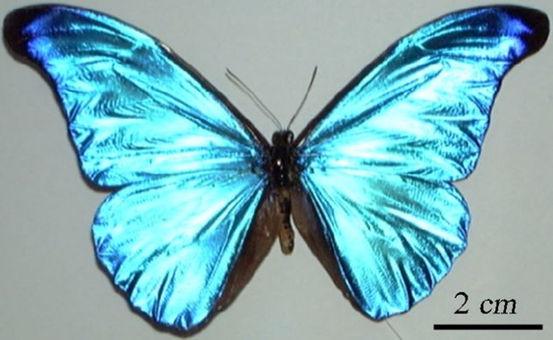 041116_morpho_photon_butterfly_02