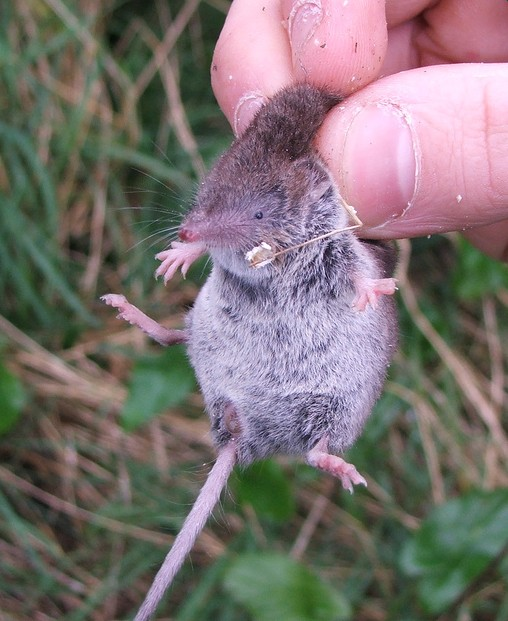 greater%20white-toothed%20shrew%2001%20david%20tosh