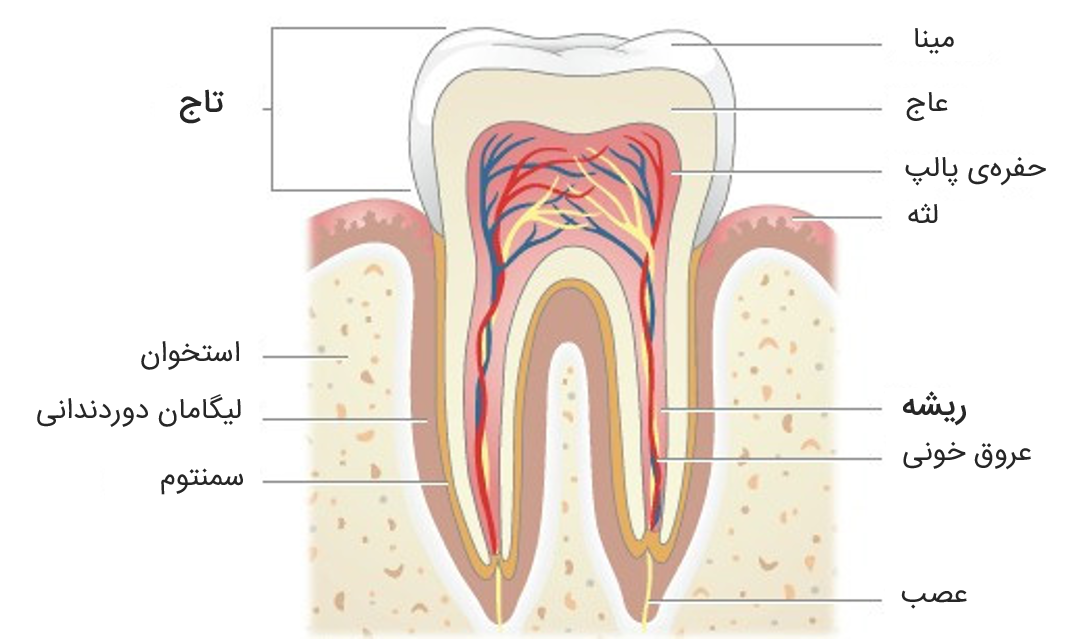 tooth-structure-virtualdr-ir