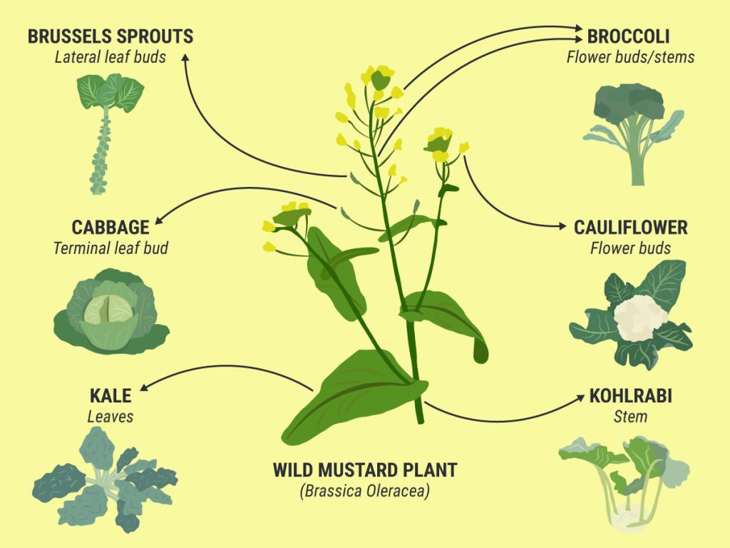 یکی از گویاترین اینفوگرفهایی که زادگیری مصنوعی گیاه خردل وحشی را نشان میدهد. اکثر گونههای کلمی که ما امروزه مصرف میکند در اثر زادگیری انتخاب افرادی از جمعیت خردل وحشی با ویژگیهای بارز متفاوت ایجاد شده است.