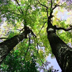 070801_tall_tree_02