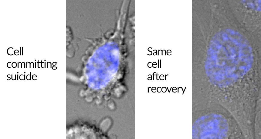 هنوز زندهام تصویر سمت چپ یک سلول سرطانی ههلا را در فاز آپوپتوز نشان میدهد. تصویر سمت راست همان سلول را نشان میدهد که از طریق آناستاز از مسیر خودکشی سلولی بازگشته است. DNA سلول به رنگ آبی نشان داده شده است. منبع: Science News