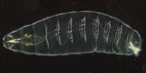 drosophilakutikula