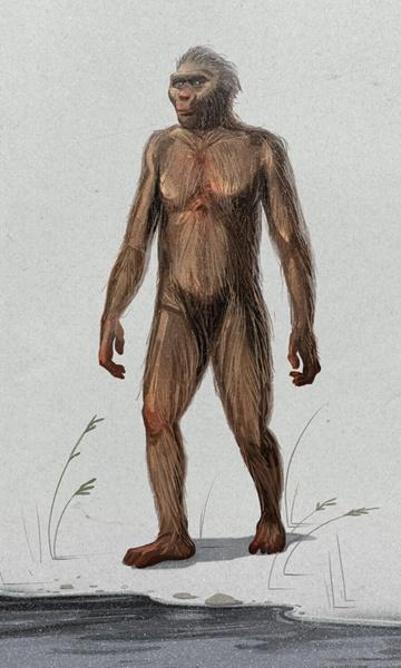 australopithecus-virtualdr-ir