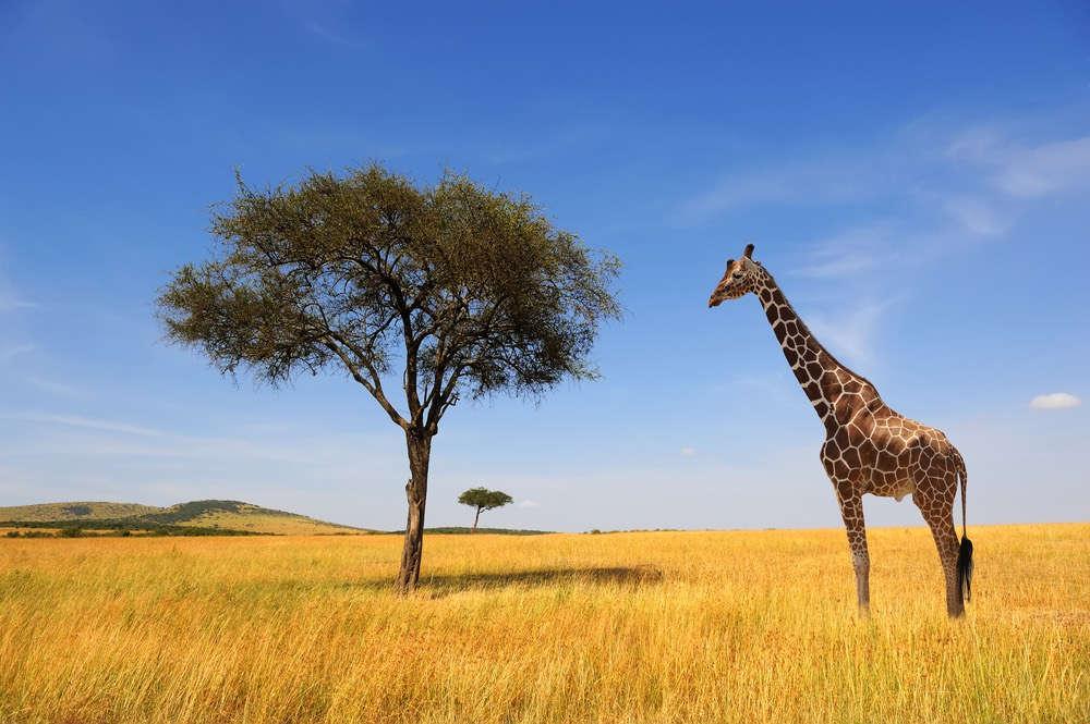 giraffe-virtualdr-ir