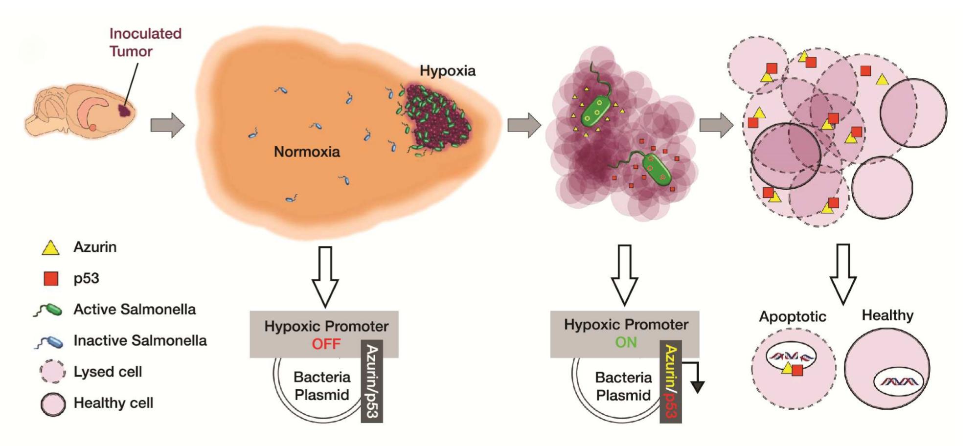 Scientists are genetically engineering Salmonella to destroy brain tumours-virtualdr.ir