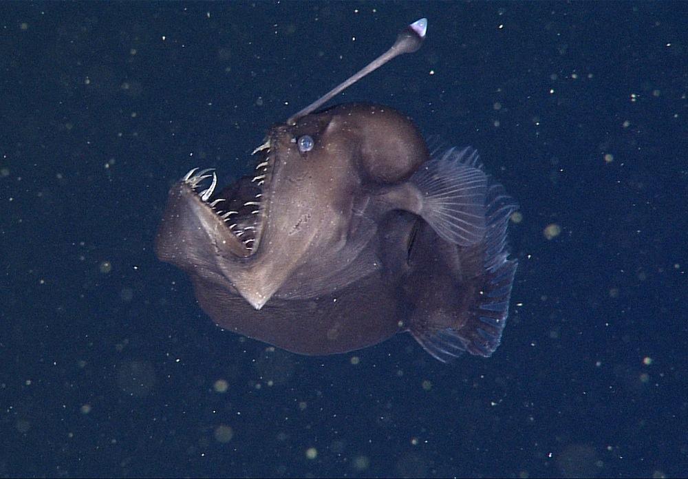 anglerfish-teeth-virtualdr-ir