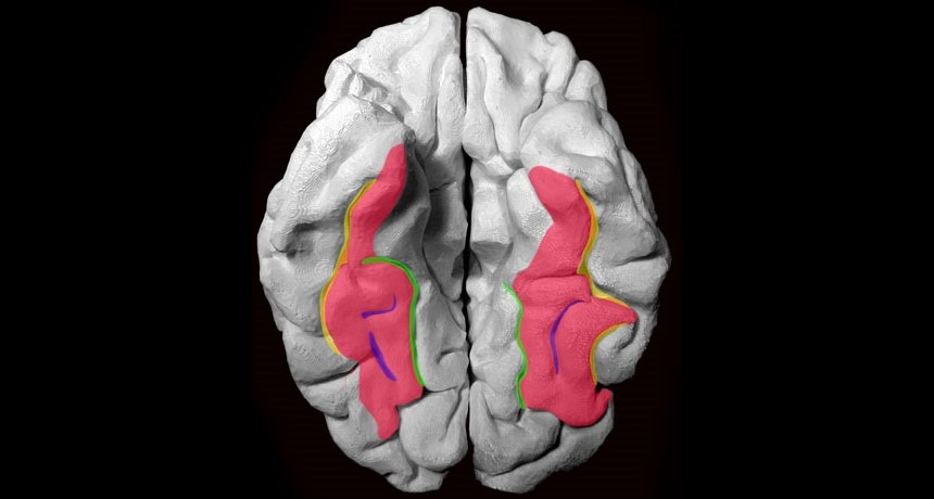 Faces And Places محققان به تازگی متوجه وجود تغییرات محسوسی در شکنج دوکیشکل (Fusiform Gyrus) - مسئول تشخیص چهره - کودکان و بزرگسالان شدهاند (که در این تصویر با رنگ صورتی نشان داده شده است). ولی با این حال تفاوت چندان محسوسی در شیار کولترال (Collateral Sulcus، سبزرنک) مشاهده نشده است. منبع: Science News