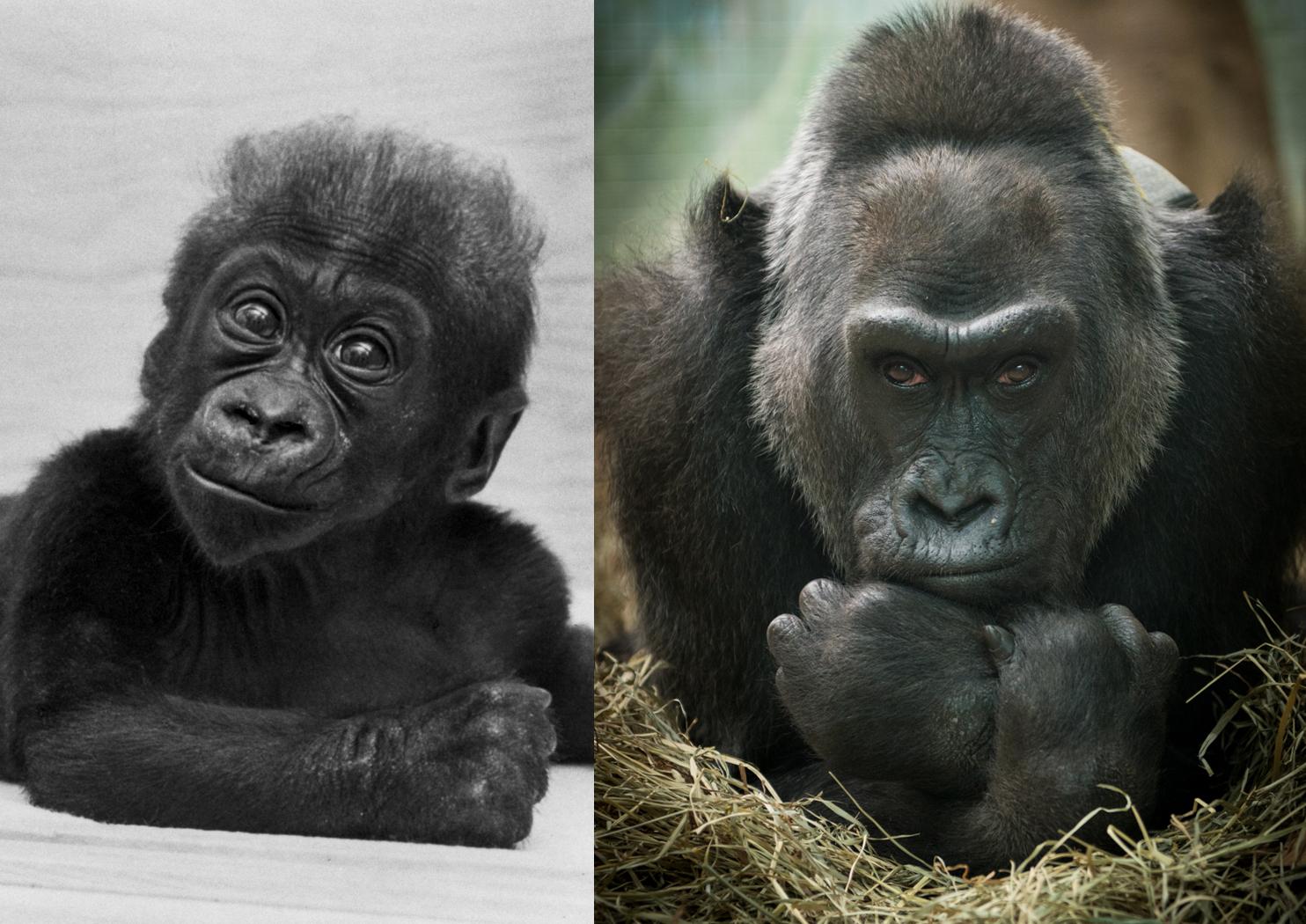 Gorilla (Colo) 1957