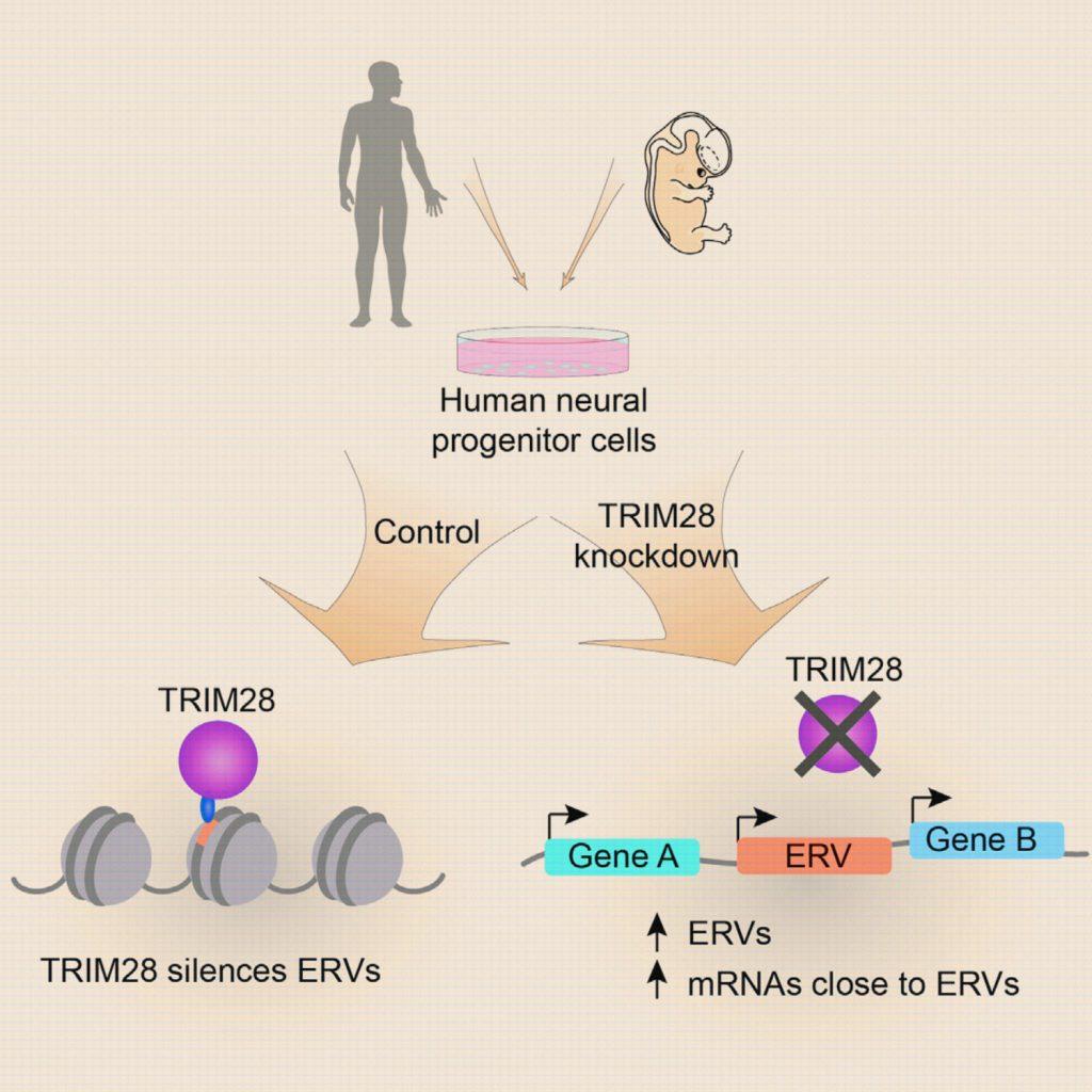 ERVها به صورت متصل به TRIM28 در سلولهای پیشساز عصبی انسان حضور دارند. کمپلکس ERV + TRIM28 منجر به شکلگیری هتروکروماتین موضعی میشود که بر بیان ژنهای مجاور تأثیرگذار است و حاکی از نقش این ساختارها در کنترل بیان ژن در مراحل رشد و نمو مغز انسان میباشد. قسمت جالب ماجرا این است که ERVها ی متصل به TRIM28 با عناصر بسیار قدیمی - ۳۵ الی ۵۵ میلیون ساله - سازگار هستند از این رو به ERVهای جدیدتر و قدیمیتر و عناصر آنها متصل نمیشوند. امتیاز تصویر: Per Ludvik Brattas et al, doi: 10.1016/j.celrep.2016.12.010.