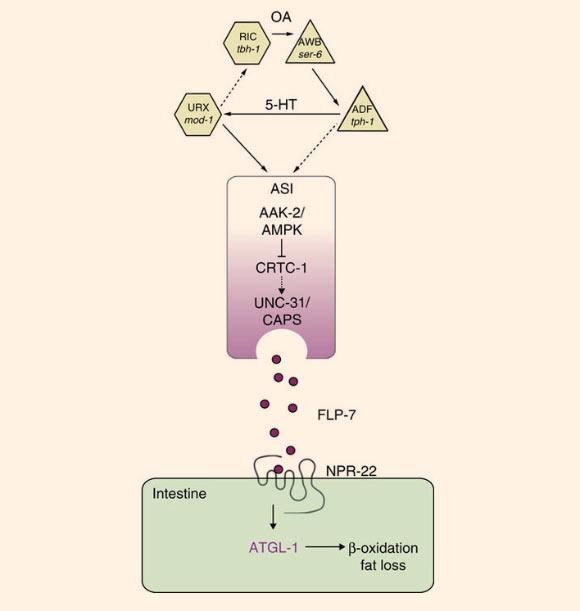 نقشهای از مدار محور نورو-اندوکرینی FLP-7/NPR-22 که سیستم کنترل وابسته به دوپامین (5-HT) فرآیند چربیسوزی است. امتیاز تصویر: Lavinia Palamiuc et al, doi: 10.1038/ncomms14237.