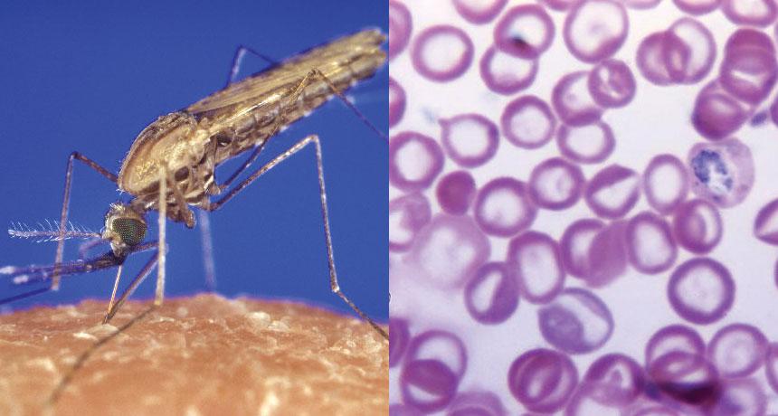 Bloodthirst پلاسمودیوم فالسیپاروم - انگل مالاریا - (سمت راست) با تولید نوعی ترکیب شیمیایی، باعث جذابتر شدن خون آلوده برای پشههای ناقل میشود.