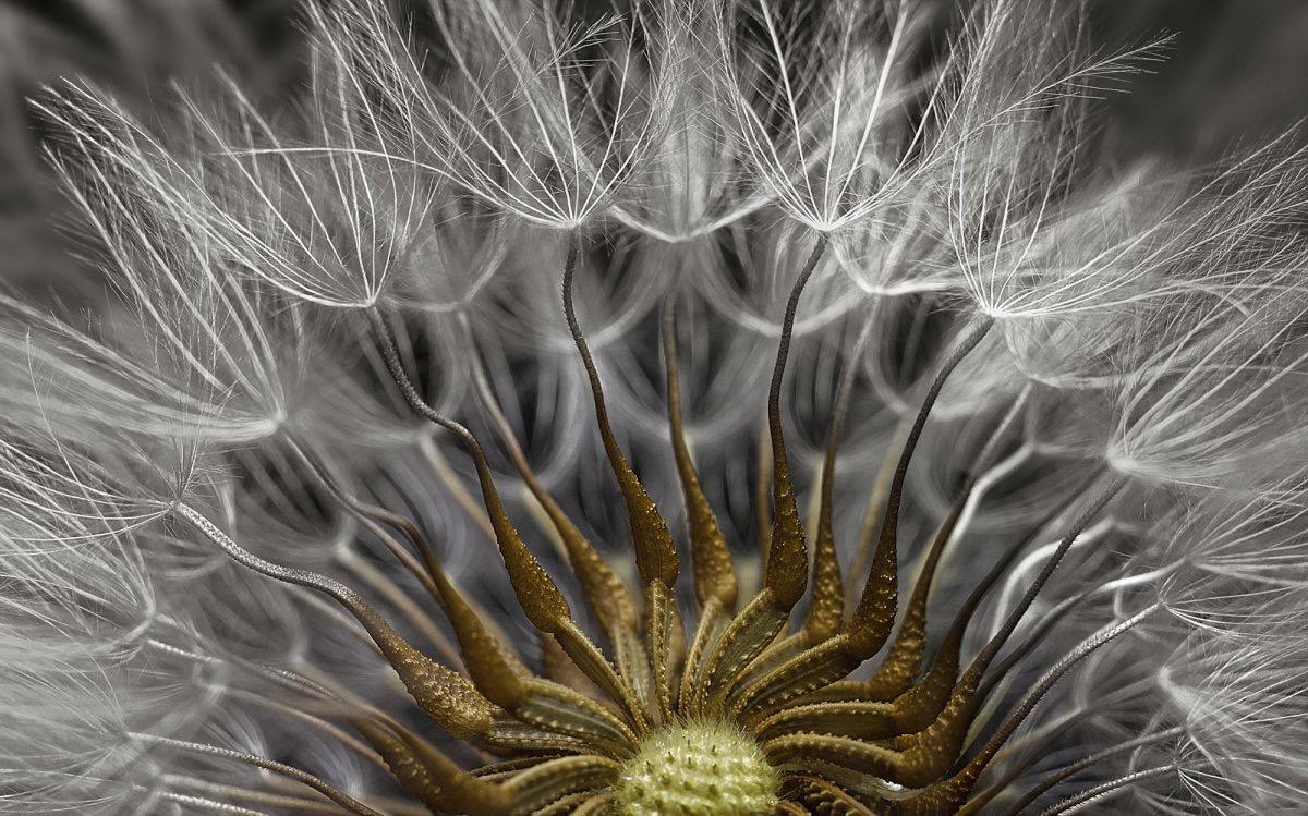 سر پر بذر گیاه groundsel