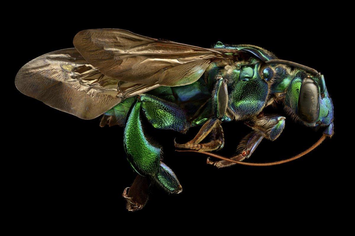 زنبور ارکیده