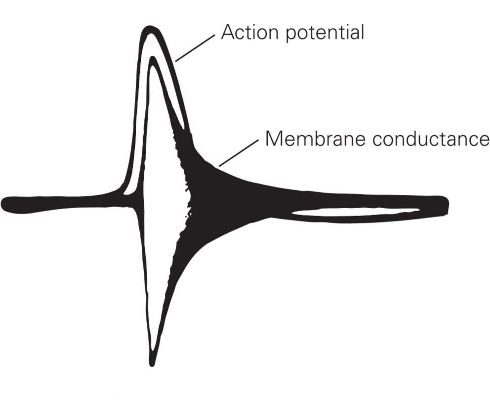 پتانسیل عمل، حاصل افزایش رسانایی یونی در غشای آکسون است. این ثبت تاریخی از مطالعهی Kenneth Cole و Howard Curtis در سال 1939 یک پتانسیل عمل را نشان میدهد که روی یک ثبت رسانایی غشا همزمان سوار شده است.