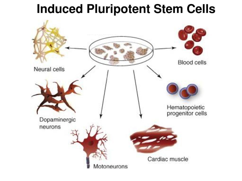 سلول های بنیادی پرتوان