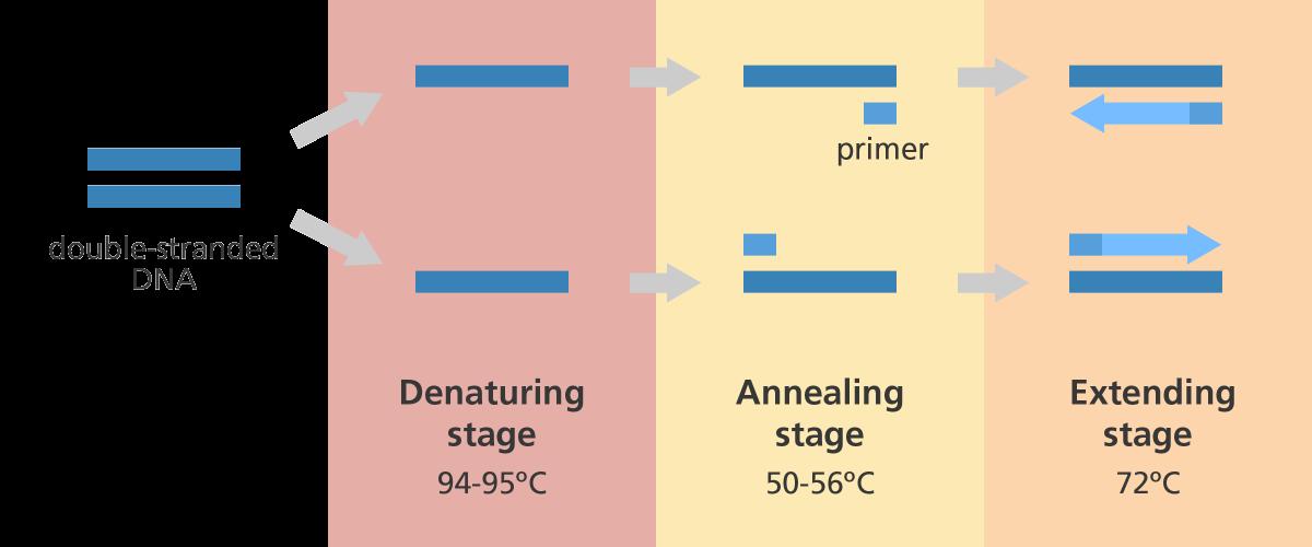 آزمایش PCR چیست