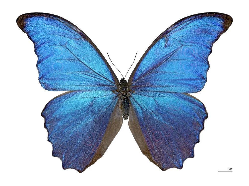پروانه مورفو