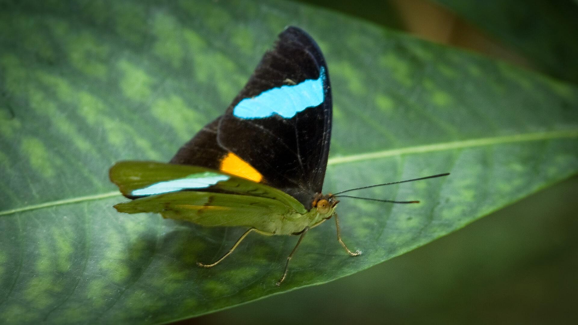 پروانی آبی