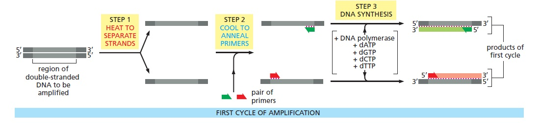 آزمایش PCR - مراحل