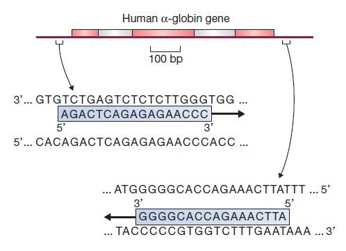 آزمایش PCR - پرایمرها