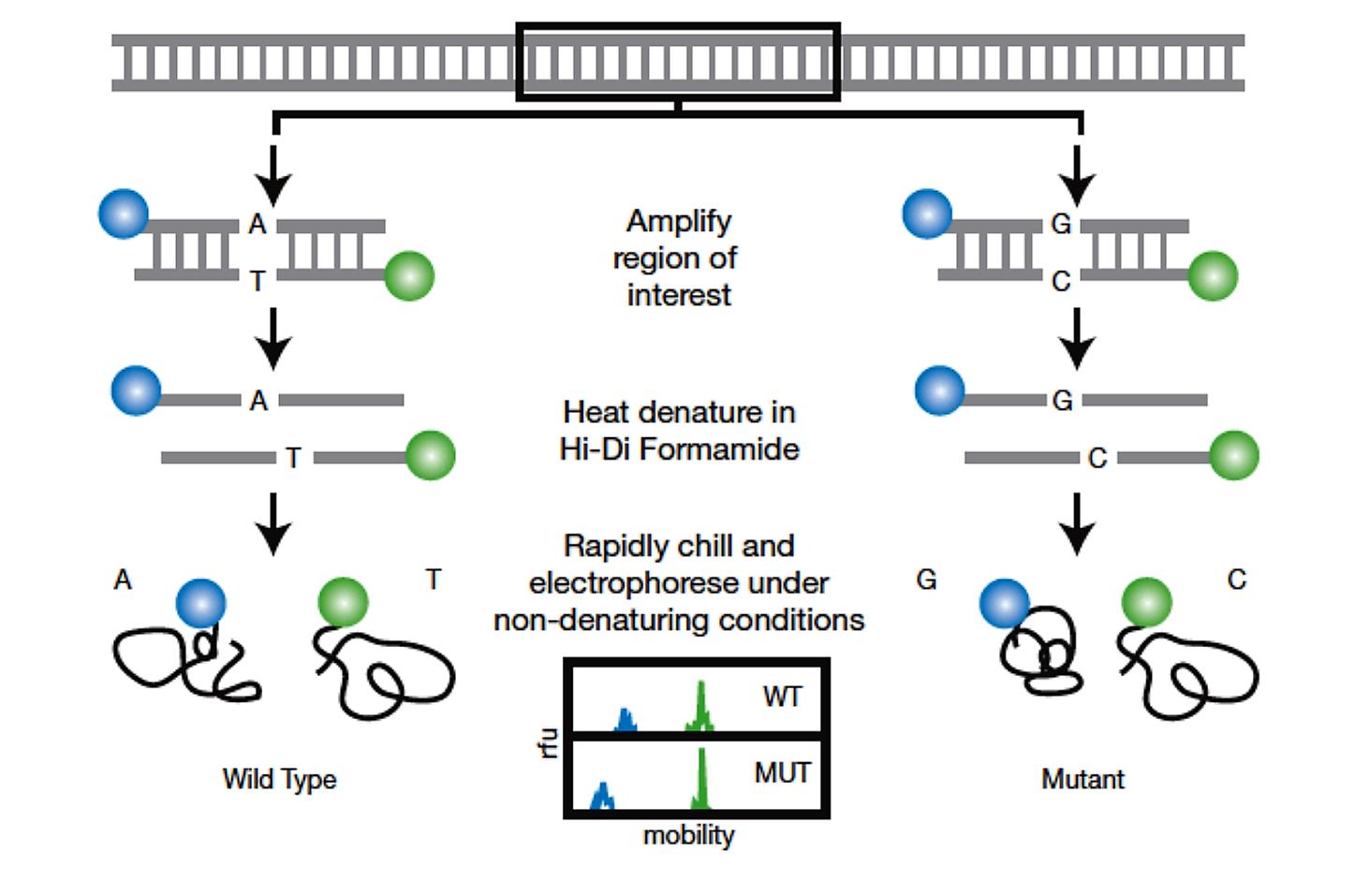 PCR-SSCP