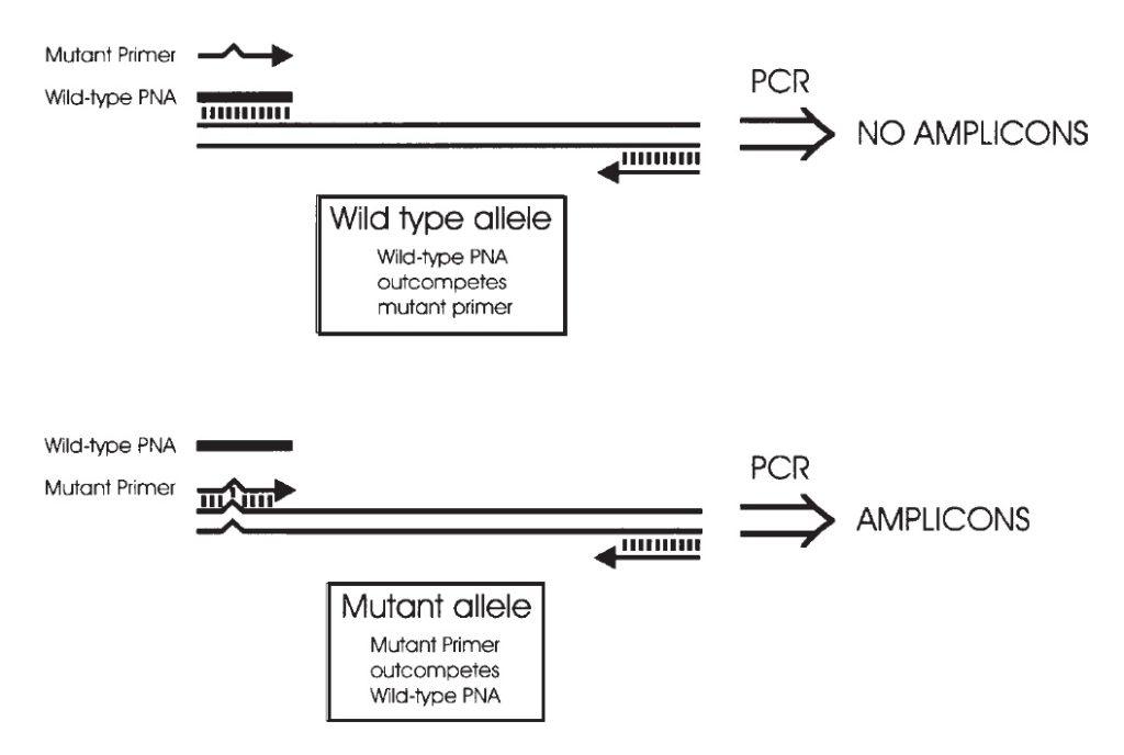 تصویر ۱. نمای شماتیک PCR clamping؛ PNA وایلدتایپ و پرایمر PCR موتانت، برای اتصال به جایگاهی مشابه با یکدیگر در حال رقابت هستند، و بالعکس.