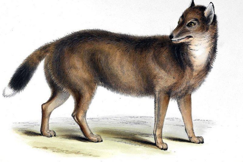 گرگ فالکلند