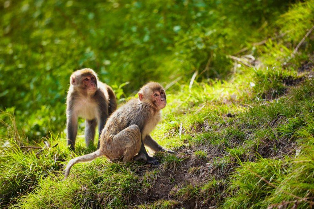 میمون رسوس